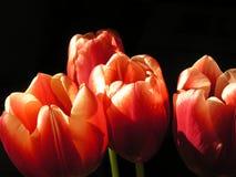 tulipan kwiatów Obraz Royalty Free