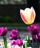 Tulipan, kwiat miłość zdjęcie royalty free