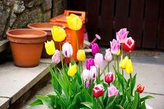 Tulipan kwitnie blisko kamiennej ściany Zdjęcia Royalty Free