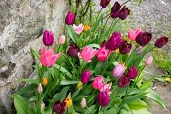 Tulipan kwitnie blisko kamiennej ściany Obrazy Stock