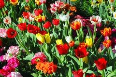 Tulipan kwitnie I fotografia royalty free