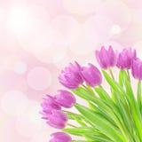 Tulipan kwitnie na bielu Zdjęcia Royalty Free