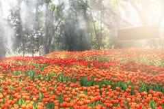 Tulipan kwitnie, piękni kwiaty w ogródzie Po to, aby doceniać naturę zdjęcia stock