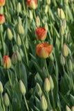 Tulipan kwitnie z trzonami Wiosny kwitnienia rośliny zdjęcia royalty free