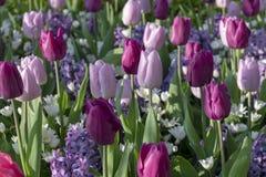 Tulipan kwitnie z trzonami Wiosny kwitnienia rośliny zdjęcia stock