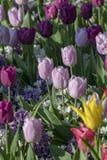 Tulipan kwitnie z trzonami Wiosny kwitnienia rośliny fotografia royalty free