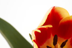 tulipan makro Fotografia Royalty Free