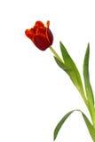 Tulipan na bielu Obraz Royalty Free