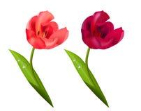Tulipan na bielu Zdjęcie Royalty Free