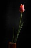 Tulipan na czarnym tle Zdjęcie Stock