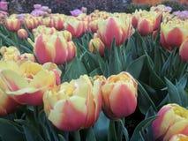 Tulipan na ogródzie Zdjęcia Stock