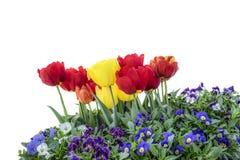 Tulipan odizolowywający zdjęcia stock