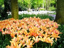 Tulipan Ogrodowy Keukenhof Holandia Fotografia Royalty Free