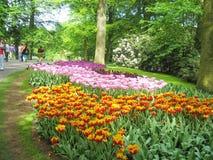 Tulipan Ogrodowy Keukenhof Holandia Zdjęcia Royalty Free