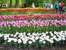 Tulipan Ogrodowy Keukenhof Holandia Zdjęcie Royalty Free