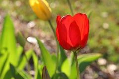 tulipan ogrodu Obraz Stock