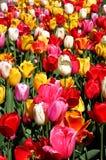 tulipan ogrodu Fotografia Stock
