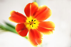 Tulipan otwarty Obrazy Royalty Free
