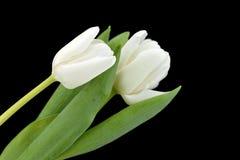 Tulipan på svart bakgrund Royaltyfria Bilder