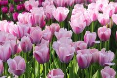 Tulipan piękna wiosna kwitnie flowerbed Zdjęcie Royalty Free