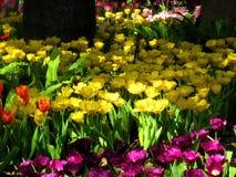 Tulipan piękne bukietów tulipanów Obrazy Royalty Free