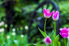 Tulipan piękne bukietów tulipanów tulipany kolor tulipany w s Zdjęcia Stock