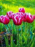 Tulipan piękne bukietów tulipanów tulipany kolor tulipany w s Fotografia Stock