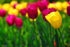 tulipan pola Fotografia Royalty Free