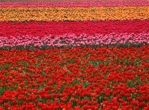 tulipan pola Zdjęcia Royalty Free