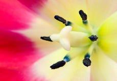 tulipan się blisko Zdjęcia Stock