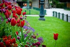 Tulipan urban garden. Beautiful tulip on a urban garden Stock Photo