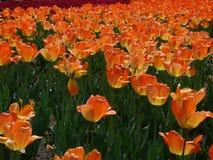 Tulipan w Gatineau Kanada, północny Ameryka Zdjęcia Stock