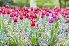 Tulipan w Jardin du Luksemburg, Paryż - zdjęcia stock