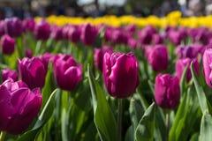 Tulipan w ogródzie Zdjęcia Royalty Free