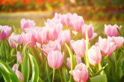 Tulipan w ranku Obraz Stock