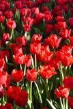 Tulipan w ranku świetle Fotografia Royalty Free