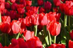 Tulipan w ranku świetle Fotografia Stock