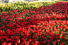 Tulipan w ranku świetle Obraz Stock