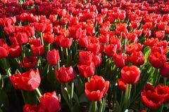 Tulipan w ranku świetle Zdjęcie Royalty Free