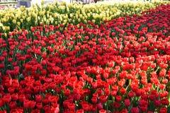 Tulipan w ranku świetle Zdjęcie Stock