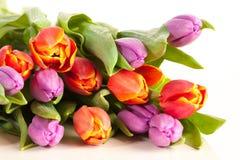 Tulipan w studia świetle Zdjęcie Royalty Free