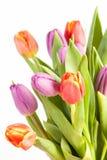 Tulipan w studia świetle Obrazy Stock