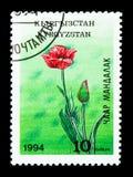 Tulipan, wysokiej góry shanu seria około 1994 kwiaty, Zdjęcie Royalty Free