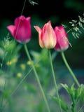 Tulipanes imagenes de archivo