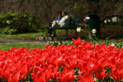 Tulipanes Fotos de archivo