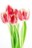Tulipanes Foto de archivo