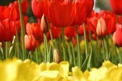Tulipanes Fotografía de archivo