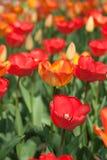 Tulipanes. Fotos de archivo