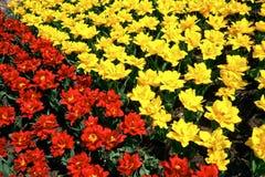 Tulipanes Imagen de archivo libre de regalías