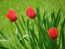 Tulipanes. Fotos de archivo libres de regalías